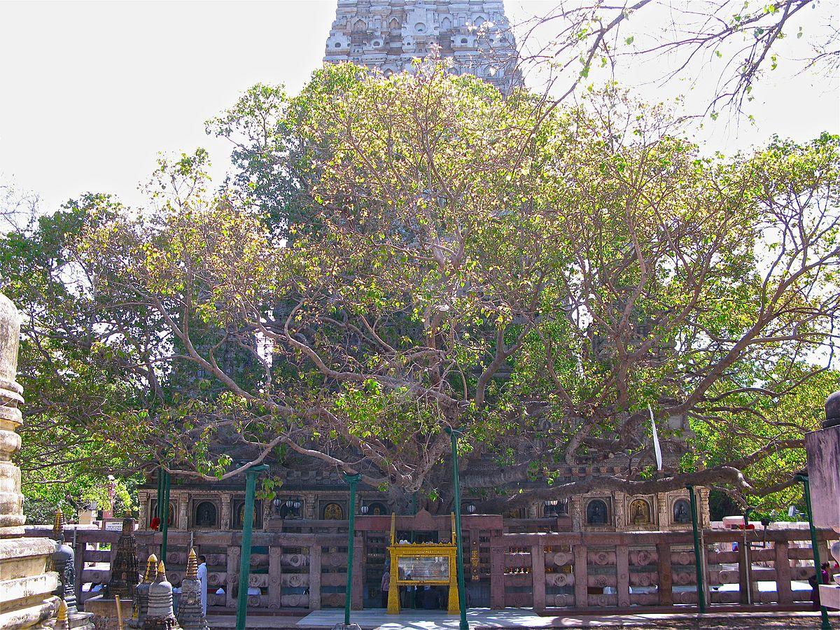 The Bodhi Tree is beside of Mahabodhi Temple - Cây Bồ Đề bên cạnh đền Bồ Đề